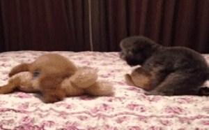 小泰迪的4P 床上上玩犬性交罕见的奇闻