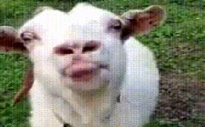 搞笑动态图片笑死人小山羊吐舌卖萌头挑逗gif动态图