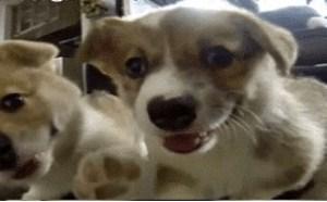 小狗狗搞笑gif动态图:好萌好可爱的小狗