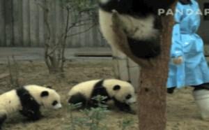 好多熊猫搞笑gif小熊猫昐昐可爱熊猫