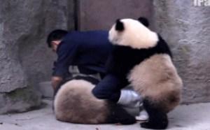 爱爱可爱熊猫搞笑gif动态图片大全