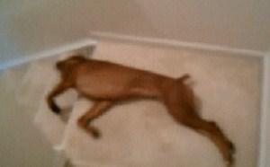 搞笑gif动态图:好懒的死狗