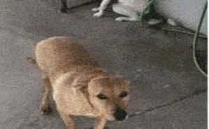 咬靴子的小动物搞笑gif图片