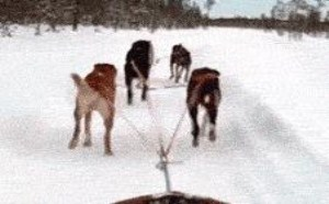 狗狗拉雪橇搞笑gif图片