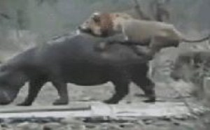 狮子玩犀牛不会玩坏吗?很多gif搞笑图片大全