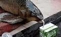 鲫鱼鱼喝伊利优酸乳好喝吗?