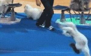 搞笑动态图片:小狗狗真棒多个后空翻