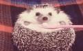 刺猬宠物 可爱搞笑gif图片