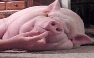 没内涵邪恶gif逗猪一乐搞笑图片