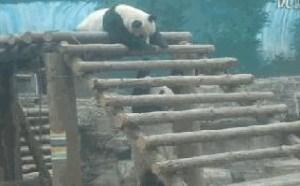 2个可爱的大熊猫玩耍搞笑gif动态图