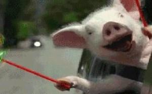 可爱小猪玩耍 gif动态搞笑图片