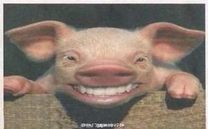 小猪搞笑QQ表情 猪在笑太好笑