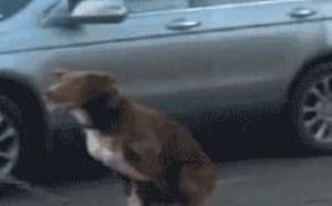 小狗玩踩钢丝蝇表演杂技动态gif图片